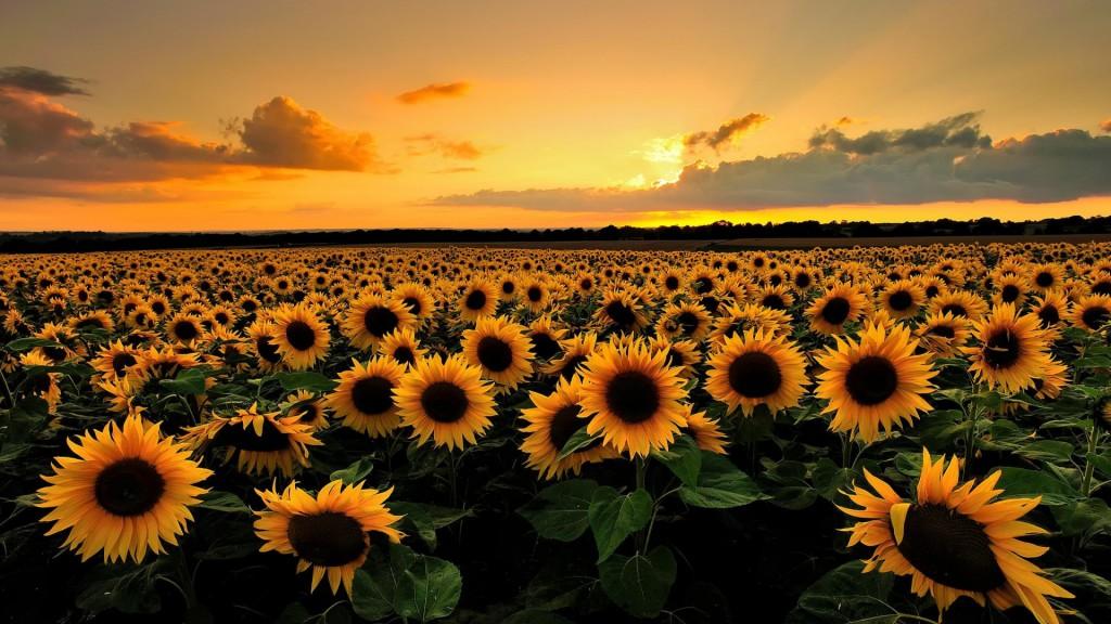 inspiratie vincent zonnebloem